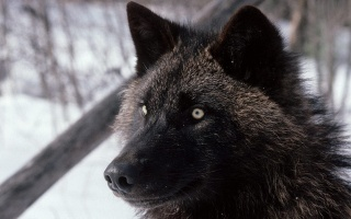 вовк, полювання