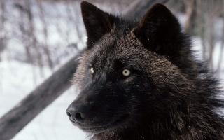 wolf, hunting