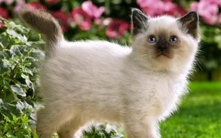 кішки, кішка, кошеня, гуляє, квіти