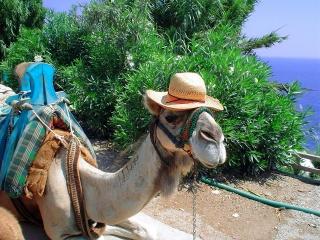 Верблюд, юмор, прикол, красивые .