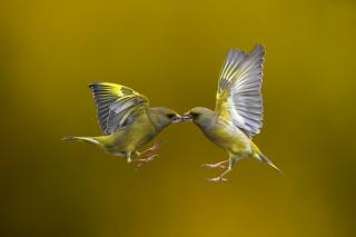 Летающий Поцелуй, птицы, полёт, фон