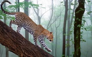 ягуар, лес, туман, охота, красивые .