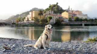 dog, Retriever, the city, river