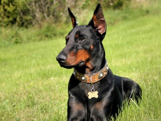 Doberman, dog, grass