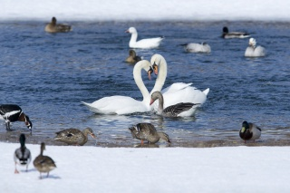 birds, swans, winter, snow, water, the pond, the clearing, PAIR