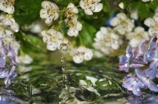 весна, цветы, вода, сирень, капли, макро