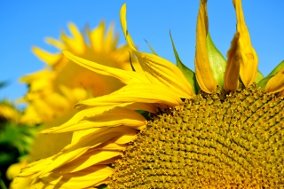 sunflower, sunflower, bright, solar, flowers, nature, summer