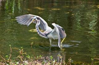 птиця, журавель, річка, гілки .