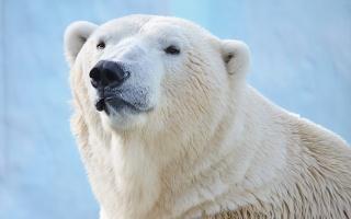 ведмідь, білий, хижак, найсильніший на планеті