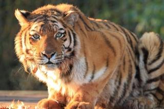 tygr, sedí, pohled