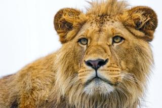 lev, pohled, čenich