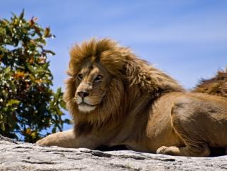 lev, leží, pohled