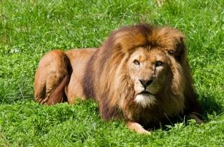 lev, leží, pohled, HŘÍVA, tráva