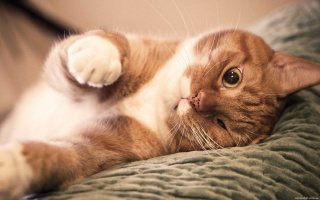 kočka, zázvor, leží, pohled