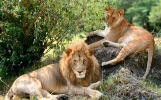 zvířata, lvi, příroda, krásné.