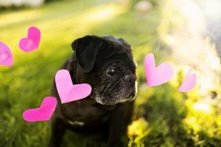srdce, pes, pozadí