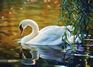 zvířata, příroda, labutě.