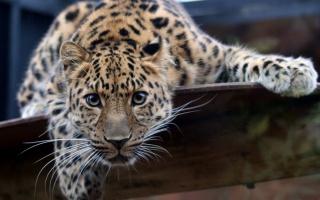 Gepard, dravec, kočka, pozornost, vousy