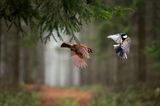 příroda, les, foto, makro, smrk, ptáci, vrabec, Tit, let