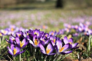 квіти, крокуси, природа, макро