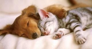 pes, kočka, spí, přátelství