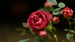 роза, червона троянда, сад, рослини, флора