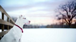 přítel, Pit bull, pes