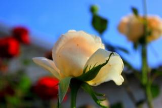 квіти, троянди, небо