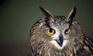 Owl, view, bird, portrait