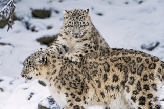 Снежный барс, IRBIS, big cat, family, kitten, winter, snow