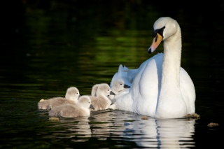 Swan, libedata, the pond, family, birds