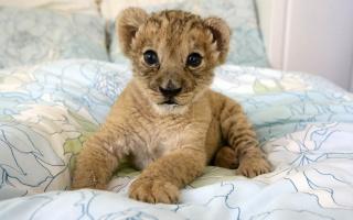 лев, Дика кішка, львенок