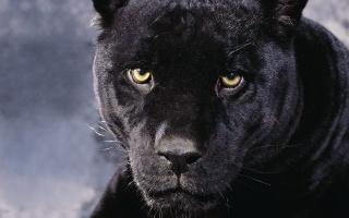 zvířata, Panther, velká kočka