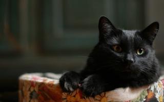 кішка, чорна