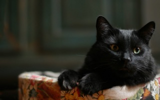 kočka, černá