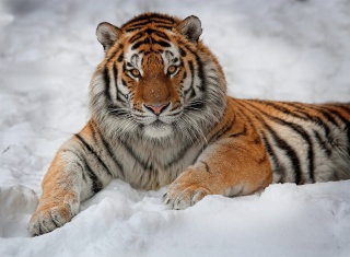 tygr, příroda, sníh, bílé pozadí, hezký