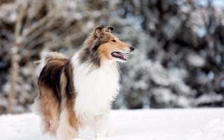 dog, snow