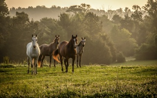 příroda, pole, koně