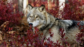 wolf, muzzle, eyes, ears, predator, greens, forest, beauty.