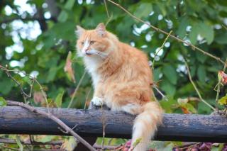 кіт, рудий, дерево, листя