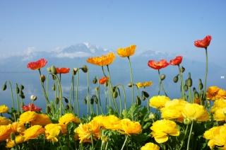 Швейцарія, Відень, озеро, гори, природа, квіти, весна