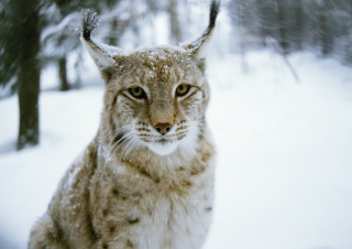 predator, winter, wood, lynx, cat, winter, Cat, Predator, forest