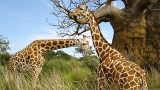 žirafy, zeleň, Baobab, větvičky, tráva, skvrny, nebe, krása