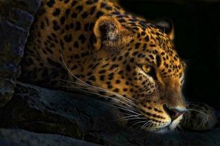 Пантера, Тварина, погляд