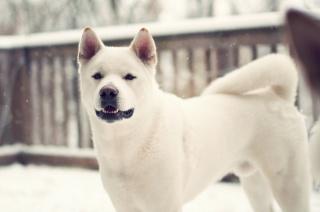 собака, собака, лайка, зима