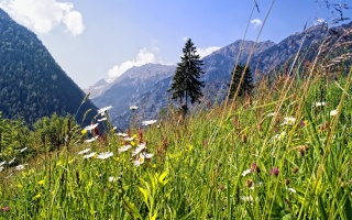 nature, mountains, Alps, meadow, summer, flowers, chamomile, forest, spruce, the sky, clouds