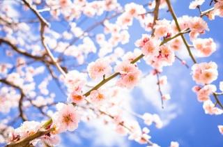 ветки, цветы, цветение, весна, слива