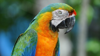 pták, ara, Papoušek