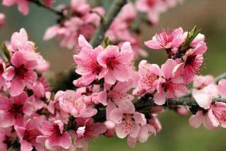 весна, дерево, цветы, яблоня, ветки, природа, розовый