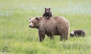 příroda, medvědi, medvědí mláďata, hra, na koni